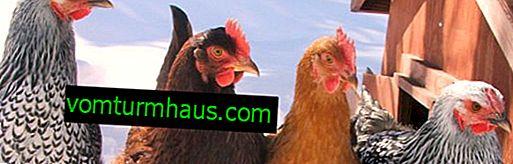 Varför inhemska kycklingar dör: orsaker och behandling av möjliga sjukdomar