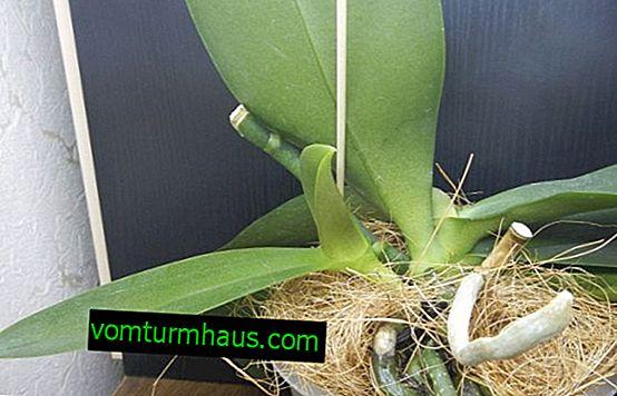 Hur man transplanterar en orkidébarn hemma