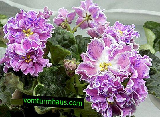 Violet Rosemary: Cuidados Domésticos