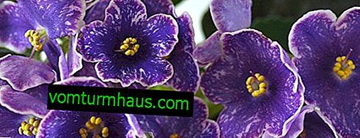 """""""Pasas"""" violetas: cultivar y cuidar en casa"""