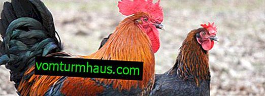 Plemeno kuře Marana: popis, vlastnosti údržby a péče