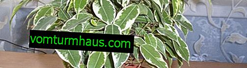 Comment prendre soin de ficus à petites feuilles à la maison