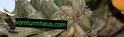 Cactus Cereus peruviansk: hemsjukvård
