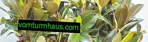 Ficus melanie: jak dbać w domu