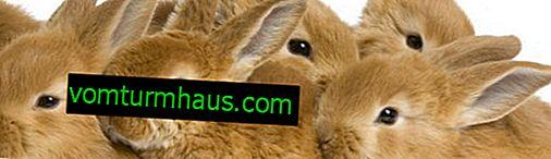 Може ли на зайци да се дава трева киноа?