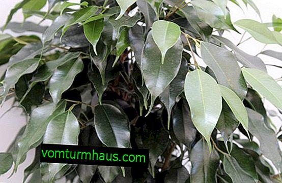 Ficus Daniel: Nega na domu