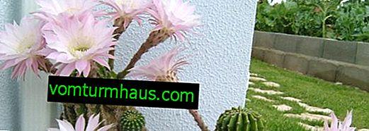 Cactus Echinopsis: Home Care