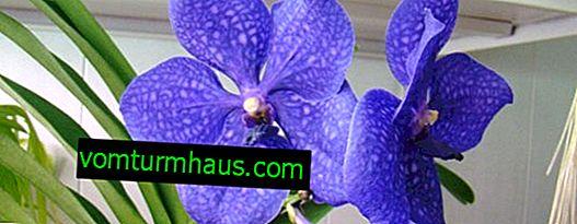 Orchidee Vanda: wächst und kümmert sich zu Hause