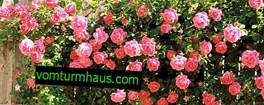 De mest doftande och doftande rosor