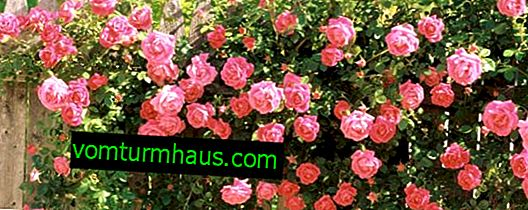 Najviše mirisne i mirisne sorte ruža