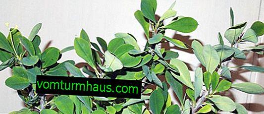 Euphorbia Mile: soins à domicile