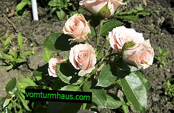 How to grow roses from seeds?