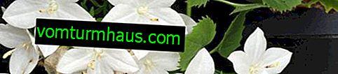 Campanula indoor: opieka domowa, przeszczep, reprodukcja