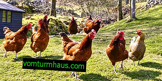 How to treat salmonellosis in chickens