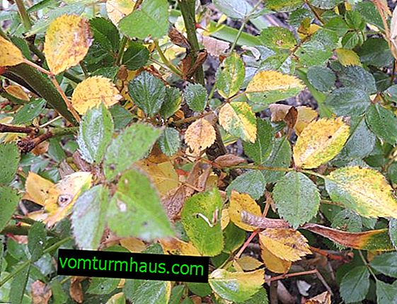 Vad man ska göra om bladen blir gula