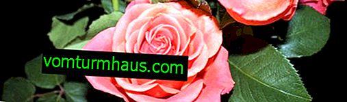 Hlavní metody pěstování růží z řízků doma