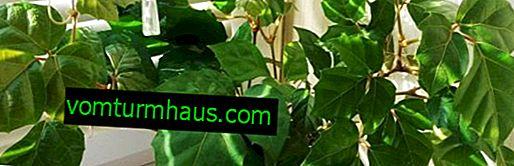 Roicissus: cuidado en el hogar