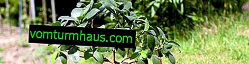 Ficus ginseng: comment s'occuper à la maison
