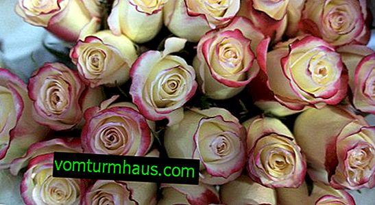 Rosa apartmani: sadnja na otvorenom i njega