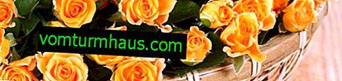 Popis nejmenších odrůd růží