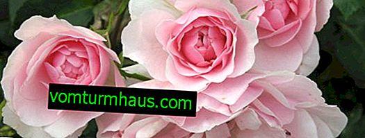 Rosa Bonika: uzgoj i njega na otvorenom