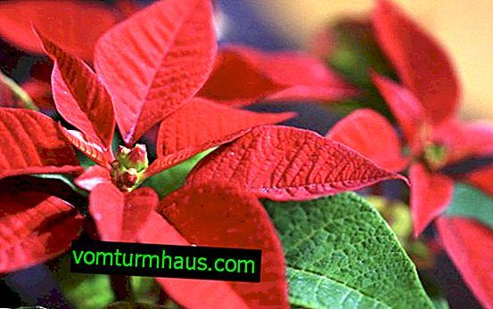 Weihnachtsstern: häusliche Pflege, Transplantation, Rebschnitt, Krankheit, Anzeichen und Aberglaube