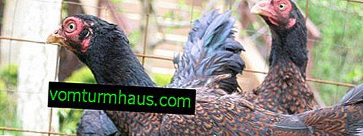 Cornish kycklingras: egenskaper, avel hemma