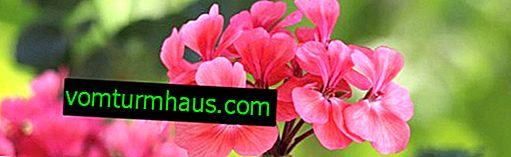 Quand et comment à la maison, il est préférable de planter du géranium