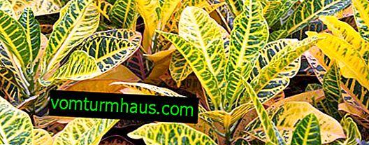 Croton: typy, vlastnosti starostlivosti