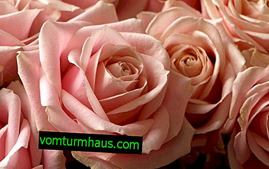 Description and cultivation of Avalange roses