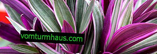 Reo-blomst: hjemmepleje