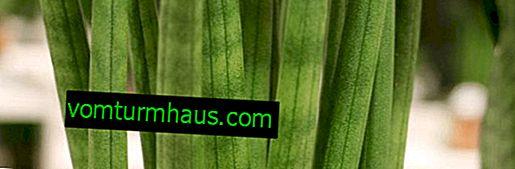 Sansevieria cilíndrica: cultivo y cuidado del hogar
