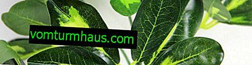 Hvorfor er shefflerne sorte og faldende blade