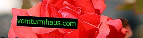 Canadiske roser: en beskrivelse af sorterne, pleje af hjemmet
