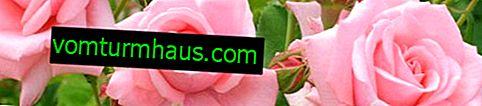 Hur och när man planterar rosor på hösten