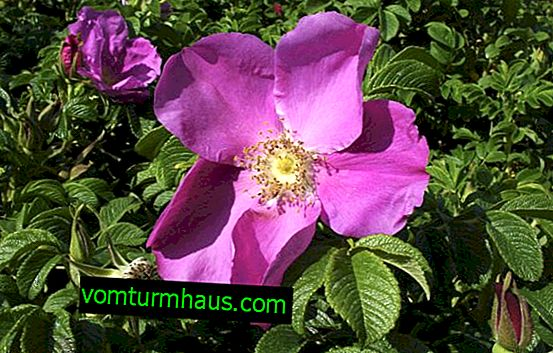 Rosa Rugosa: planting and care in the open ground
