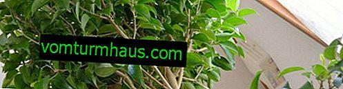 Benjamin ficusunun yaprakları sararır: bitkinin nasıl işleneceği?