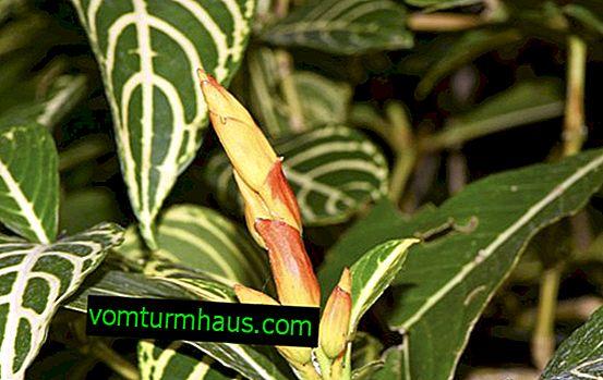 Sanchezia-blomst: hjemmepleje