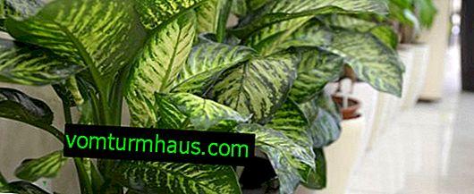Pourquoi les feuilles de Dieffenbachia virent au jaune