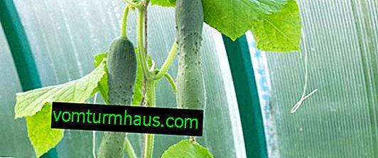 Beskrivelse af de bedste sorter af kinesiske agurker