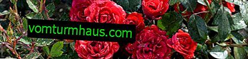 Jak transplantovat růže na jiné místo