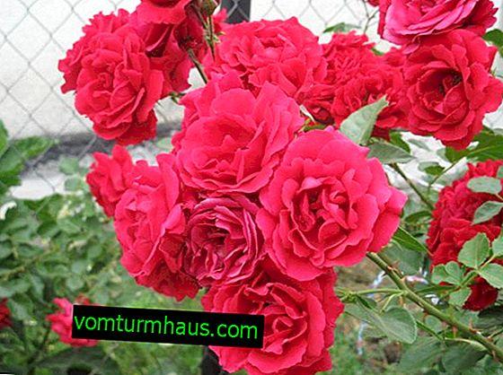 Rosa rampicante Simpatia: semina e cura in piena terra