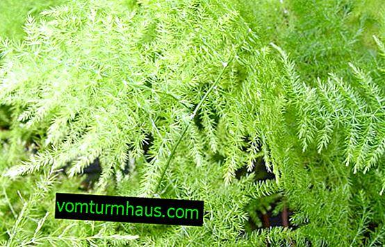 Cirrus szparagi: opieka domowa
