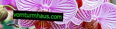 Orchidee di irrigazione adeguate a casa