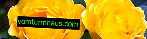 Žluté růže: význam a popis nejlepších odrůd