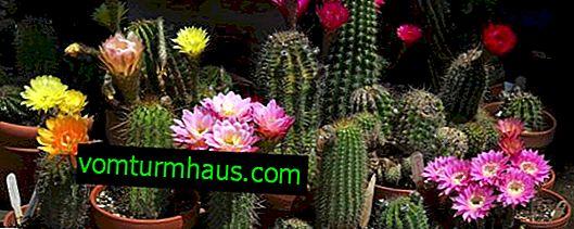 Jak dbać o kaktusa w domu
