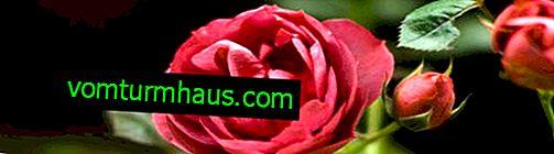 Jak šířit růže výstřižky doma
