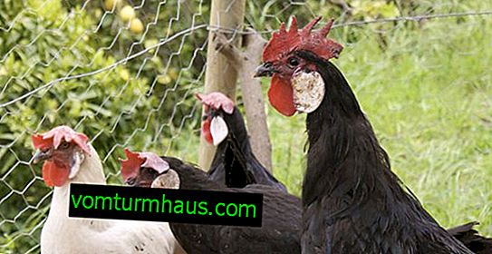 Race de poulet de Minorque: description, contenu et soin