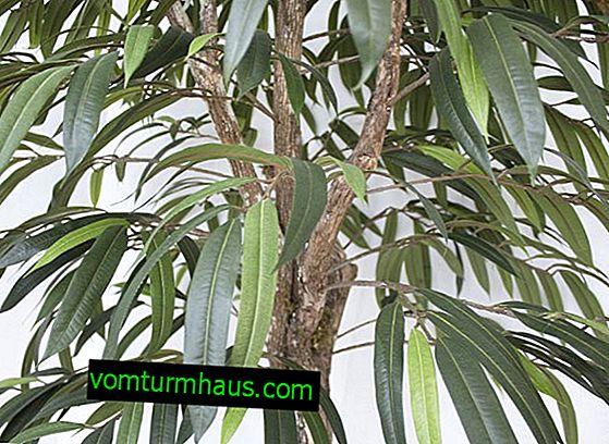 Ficus Ali: การดูแลที่บ้าน