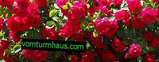 """Rose """"Flamenz"""": plantering och vård i öppen mark"""